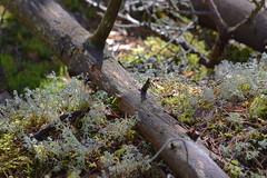 Lichen around a dead tree (JonasSuni) Tags: plant tree forest suomi finland spring flora outdoor lichen vr kevt