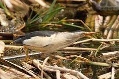 Little Bittern - Ixobrychus minutus (Roger Wasley) Tags: portugal birds faro somerset naturereserve algarve riaformosa naturalpark ixobrychusminutus littlebittern hamwall