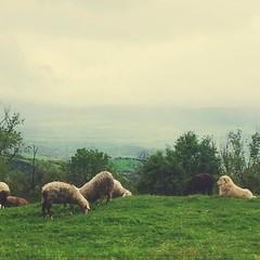 Scene bucoliche in Val D'Orcia #tuscany... (polaroid android) Tags: italy dog green nature jj italia sheep tuscany toscana valdorcia vscocam uploaded:by=flickstagram instagram:photo=712270508425743063264363329 instagram:venuename=toscanamonteamiata instagram:venue=223910094