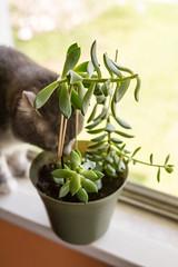 cat meets plant (jojoannabanana) Tags: green cat succulent bokeh tabby windowsill
