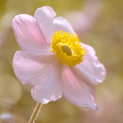 Sweet (Daisyd80) Tags: pink flower macro spring sweet outdoor pastel patels