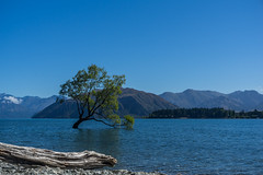 That Wanaka Tree (jasonclarkphotography) Tags: newzealand tree that sony wanaka canterburynz a6000 nex5 jasonclarkphotography thatwanakatree