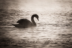Solitaire (bewo22) Tags: mist lake bird sunrise switzerland landscapes swan novembre suisse lac animaux genève oiseau paysages cygne ch brume leverdesoleil lakegeneva 2014 versoix lacléman
