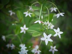 Fleurs des Antilles (a n n e s o D) Tags: fleurs lumix bokeh martinique blanc antilles gx7 20mmf17