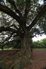 Canon206467 (godrudy6661) Tags: neworleans audubonpark treeoflife oaktrees