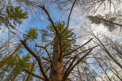 Looking up at strange tree (eppelsauce3966) Tags: trees sky nature woods nikon michigan tokina 1116mm d7000