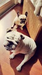 .staring competition (i  e R t i a) Tags: paris lotus daily frenchbulldog englishbulldog bulldogs flatnosesociety