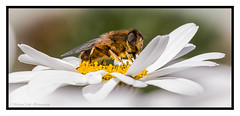 Pollen Distributor (Richard Leah Photography) Tags: macro nature flora bees insects pollen oxeye sigma105mm