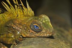 Blue-eyed Anglehead Lizard (Gonocephalus liogaster) male (Photo by Xavier MALLERET) (berniedup) Tags: lizard malaysia tamannegara angleheadlizard gonocephalusliogaster blueeyedangleheadlizard taxonomy:binomial=gonocephalusliogaster xaviermalleret