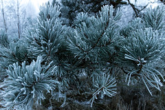 Fir Needles and Soft Rime (Deep Space Ocean) Tags: ocean trees winter sea white mist snow cold tree ice soft frost needle fir rime needles leaning