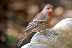 House Finch, male (LilTexican) Tags: birds lifelist wildlife texasbirds