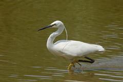 Little egret in water (P_1_B) Tags: bird nature birds animals suffolk wildlife sony birding egret birdwatching lackfordlakes littleegret sonya77 slta77 slta77v sonya77v