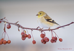 Winter Gold (Happy Photographer) Tags: winter bird berries goldfinch finch amyhudechek