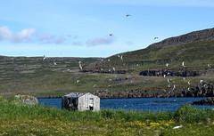 (vsig) Tags: iceland vestfirir birds vgel htte wasser cottage water seeschwalben islande