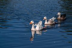 DSC_8705.jpg (S.S82) Tags: statepark park uk greatbritain england lake nature birds landscape duck pond unitedkingdom wildlife falls westmidlands solihull 2016 anatidae tudorgrangepark randomclicks