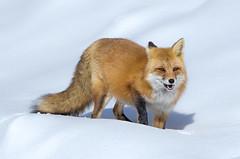 Red fox (Phiddy1) Tags: ontario canada animals fox algonquin redfox