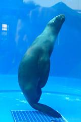 Baikal Seal () (Bri_J) Tags: aquarium tokyo nikon seal ikebukuro    baikalseal d7200  pusasibirica sunshinecityaquariumikebukuro