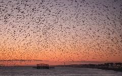 Veil of Starlings (Sue MacCallum-Stewart) Tags: sunset seascape nature birds sussex coast brighton starlings murmuration