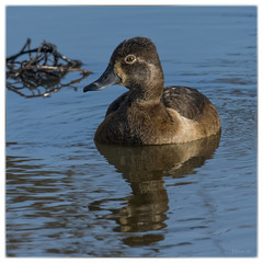 Female Ring-necked Duck at B. K. Leach Memorial Conservation Area (Nikon66) Tags: nikon missouri d800 lincolncounty ringedneckduck bkleachmemorialconservationarea femaleringneckedduck