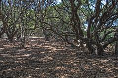 Forest - Pinole Park - Pinole - California - 30 August 2015 (goatlockerguns) Tags: sanfrancisco california park county usa costa west nature forest oakland coast natural unitedstatesofamerica trail bayarea eastbay contra hdr highdynamicrange pinole