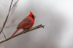 Winter Cardinal (hey its k) Tags: ca winter red ontario canada nature birds burlington cardinal wildlife tamron canon6d 150600mm cherryhillrbg img9946e