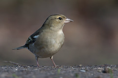 Common chaffinch (palombian) Tags: groen
