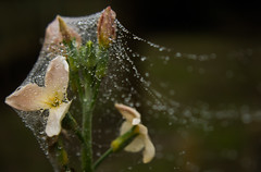 Entangled (simongergo11) Tags: flower rain droplets drops hungary web spiderweb covered webbed entangled