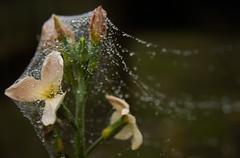 Entangled (simongergo11) Tags: flower rain droplets drops hungary web spiderweb covered webbed entangled