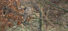 Hiding in plain sight (KHR Images) Tags: tree nature fauna woodland nikon wildlife camouflage short owl perched fens cambridgeshire seo eared shortearedowl asioflammeus d7100 8004000mmf4556 kevinrobson khrimages