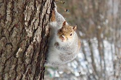 Snowy nose (RachelThomas424) Tags: park winter snow newyork tree animal forest outside squirrel centralpark wildlife greysquirrel