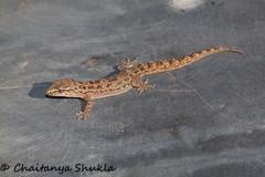 IMG_9542 (Chaitanya Shukla) Tags: india macro lizard maharashtra in kokan guhagar patpanhale shringartali brooksgecko