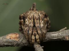 Tree Stump Spider (Atul Vartak) Tags: camouflage mimicry cryptic araneidae poltys illepidus treestumpspider
