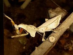 Dead Leaf Mantid (rstickney37) Tags: mantis prayingmantis deadleafmantis mantid deadleafmantid museumoflifescience ncmuseumoflifescience deroplatys