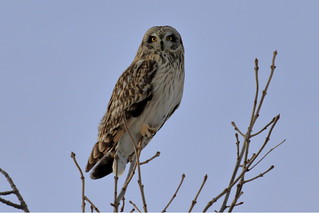 Short Eared Owl Portrait