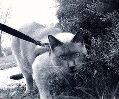 i though i saw a puddy tat (Artist Victoria Watson) Tags: blackandwhite pet cats cute monochrome animal cat eyes feline outdoor siamesecat expressions gato animalplanet petportrait catportrait ninjacat thegalaxy