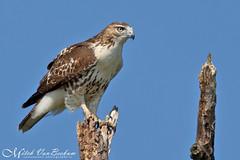 Red-Tailed Hawk (Mitch Vanbeekum Photography) Tags: wild newjersey hawk wildlife nj alpine raptor immature redtailed redtailedhawk statelinelookout canonef500mmf4lisiiusm canoneos1dx canon14teleconvertermkiii mitchvanbeekum