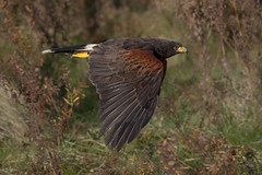 Harris' hawk (Phiddy1) Tags: ontario canada birds hawk crc harrishawk
