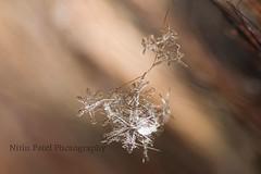 IMG_8645 (nitinpatel2) Tags: snowflakes patel nitin