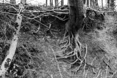 Root Crucifix (Steve Vallis) Tags: wood england tree monochrome contrast somerset crucifix root crucifixion