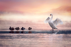 White priest | Explored on 2016.02.03 | Thank you all! (Pásztor András) Tags: winter sunset cold reflection art ice nature water fog photography duck swan pond hungary fine montage andras pasztor