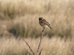 Stonechat (Peanut1371) Tags: brown white bird chat branch stonechat nationalgeographicwildlife