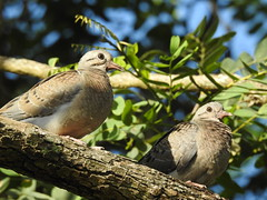 Filhotes de pomba-de-bando (Zenaida auriculata) (Frank Thomas Sautter) Tags: nikon p900 eareddove fredgling