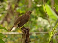 Yigüirro (Turdus grayi) (Jorge Solís Campos) Tags: naturaleza bird nature animal fauna costarica wildlife ave wildanimal pájaro turdusgrayi animalsalvaje pérezzeledón vidasalvaje yigüirro