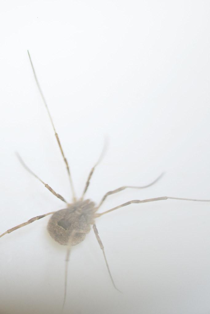 Faucheux Araignée the world's newest photos of faucheux and spider - flickr hive mind