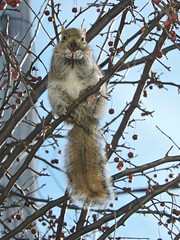 cureuil/Squirrel (Mimirocalles (Mostly off!)) Tags: nature squirrel wildlife cureuil naturephotography squirrelphotos