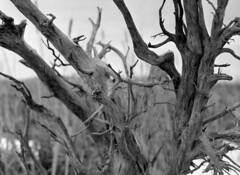 swamp root (Paul Lundberg) Tags: mamiya blackwhite root rodinal mamiya645 kodaktmax100 epsonv550 sekorc55mmf28