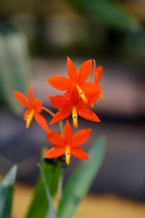 / Prostechea vittellina -1 (nobuflickr) Tags: orchid flower nature japan botanical kyoto    the garden    prostecheavittellina 20160206dsc00747