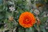 Brilliant Orange Flower (cobalt123) Tags: arizona orange flower canon tucson orangeflower firstphotos age11 2016 anavey tucsonrockandgemshow xti canonrebelxti anaveybolender