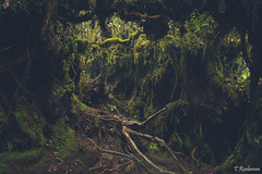 Mossy Forrest, (Tristan Roebersen) Tags: new trip bridge vacation sky cloud holiday plant flower tree tower fall beach water tristan clouds forest canon eos gold monkey waterfall highlands high cool nice skies village vet awesome year chinese royal going away rope banana gone cameron malaysia kuala penang lands epic chill mossy taman lumpur negara bhuddist 2016 belum chlling 1200d roebersen