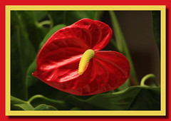 Flamingoblume (p_jp55 (Jean-Paul)) Tags: flower fleur anthurium bloem flamingoblume